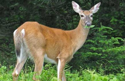 list of deer resistant plants