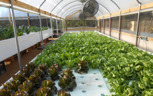 Lettuce on aquaponics growing raft