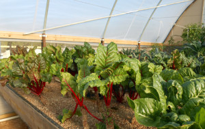 Swiss chard in aquaponics garden