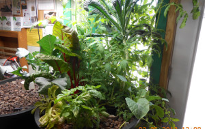 Aquaponics gardening system in full growth at Paleface Feed and Garden Supply